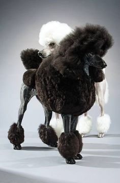 Black and White Poodles photographed by Keith Barraclough for Animal Planet