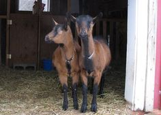 Goats for Dairy | Why Goats Are The Best Animal To Have On Your Farm | Self Sufficiency and Homesteading Ideas by Pioneer Settler at http://pioneersettler.com/goats-best-farm-animal/