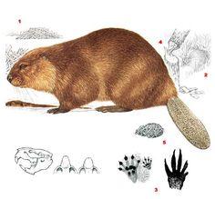 Beaver Animal, Mushroom Crafts, Dragon Comic, Animal Tracks, Montessori Materials, Nature Journal, Bear Art, Puppets, Embroidery Patterns