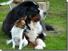 Bernese Mountain Dog what a gorgeous monster