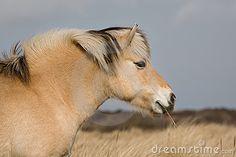 Norwegian Fjord horse by Lidian Neeleman, via Dreamstime