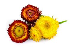 Helichrysum Essential Oil- Fights Allergies + 8 Uses You SHOULD Know: http://j.mp/2gxBVyV