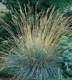 Blue Oatgrass It's tough to beat blue oatgrass for a low-care plant with steel-blue color. It also has a wonderful mounded habit and won't spread and take over your garden. Name: Helictotrichon sempervirens Growing Conditions: Full sun and well-drained soil Size: To 4 feet tall Zones: 4-9 Plant This Grass Because: It has beautiful silvery-blue color. Native to North America: No
