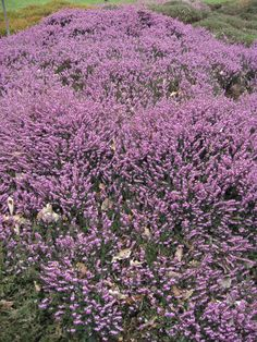Erica x darleyenis 'JW Porter' makes a great ground cover plant in acid soil conditions