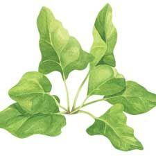 Spinach Illustration