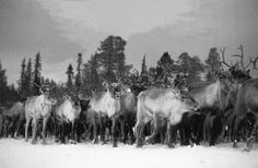 A herd of reindeer treading on the snow