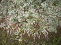 Floating Cloud Japanese maple (Ukigumo) is slow growing, with creamy white, green, and pink variegated foliage.