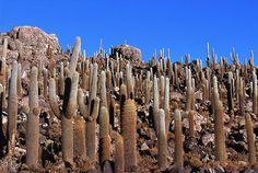 Cacti of Bolivia