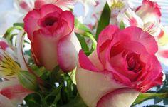 Eine schöne Rose von Frühling