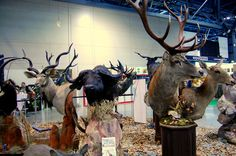 Spectacular wild animals, by a Polish taxidermy master, Krzysztof Wneczak. Photo taken during International Hunting Fair EXPOhunting 2015 in Sosnowiec
