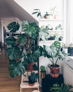 """SticklingTjuven - After 2 years of love (and some malpractice). I go by the rule: The bigger the pot, the bigger the…"""" #monstera #monsteradeliciosa #monsteramonday #swisscheeseplant"""