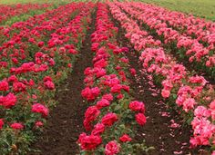 Bulgarian Roses / Capitol Blog