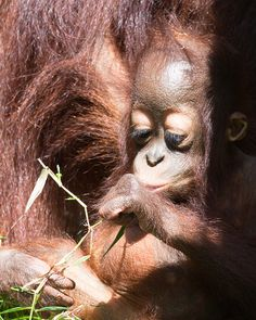 Bornean orangutan Baby | Flickr - Photo Sharing!