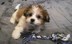Cute Teddy Bear Shichon Puppy 16 weeks
