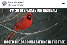 Baseball Memes, Lab Rescue, In The Tree, Chicago Cubs, Cardinals, I Laughed, Humor, Blue, Cheer