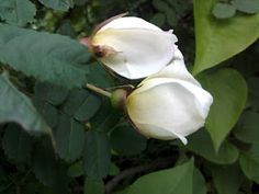 Juhannusruusu - Midsummer Rose