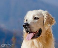 Golden Retriever / Puppy / Love of Goldens / Portrait / Dog / Pet Photography