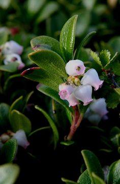 Sortulyng – Arctostaphylos uva-ursi –Bearberries