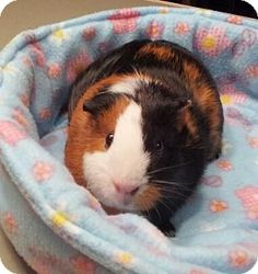 Meet Cupcake the tri color american guinea pig and Sprinkles the orange agouti abysinnian.    Both are very sweet girls. They are looking for their forever home together.