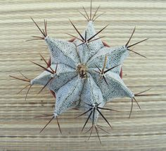 12. Astrophytum Ornatum var. Mirbelii FLOWER IN OWN ROOT cactus