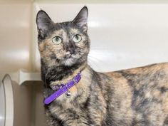 ALICE - ID#A447952 - URGENT - Harris County Animal Shelter in Houston, Texas - ADOPT OR FOSTER - 10 MONTH OLD Spayed Female Tortoiseshell Domestic Shorthair mix - at the shelter since Aug 10, 2016.