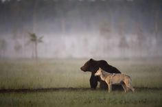 """Photographer Lassi Rautiainen recently captured the profound partnership between a she-wolf and a brown bear in the wilds of northern Finland. For days, he witnessed the strange pair meet every evening to share food after a hard day of hunting. No one knows when or how this relationship was formed, """"but it is certain that by now each of them needs the other."""""""
