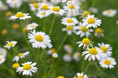 "Roman Chamomile (Anthemis nobilis) was regularly used by ancient Egyptians and the Moors, as well as being one of the Saxons\' nine sacred herbs (maythen). It was called the ""plant\'s physician"" because it also promoted the health of nearby plants."