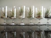 so easy to display air plants!