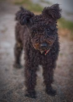 Pumi. I can't get enough of this dog.