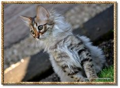 """Guys, I think I'm in love... ♥ *_*  __ """"The long hair Bengal, also referred to as the Cashmere Bengal, is extremely rare."""""""