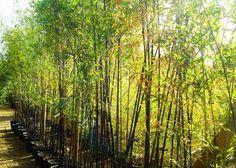 Bamboo as a screen at the end of the garden