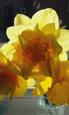 Daffodils off my keeley