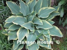 Hosta Dress Blues