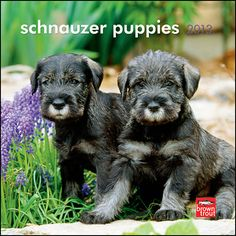 Schnauzer Puppies Mini Wall Calendar: These cute little puppies are very active and require lots of attention. They are affectionate and relish the company of people. They will grow up to be sturdy dogs, and they will make friendly, reliable companions.  $7.99  http://calendars.com/Schnauzers/Schnauzer-Puppies-2013-Mini-Wall-Calendar/prod201300004648/?categoryId=cat10166=cat10166#