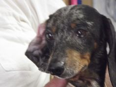 Sammy is an adoptable Dachshund Dog in Shelbyville, IN. Welcome to Petfinder.com and the Shelbyville/Shelby County Animal Shelter where today, July 26h 13 - THIRTEEN - 13 pets were all owner relinquis...
