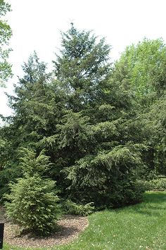 Canadian Hemlock: Canadian Hemlock will grow to be about 60 feet tall at maturity, with a spread of 30 feet. It has a low canopy with a typical clearance of 3 feet from the ground, and should not be planted underneath power lines. It grows at a medium rate, and under ideal conditions can be expected to live for 70 years or more. This tree performs well in both full sun and full shade. It does best in average to evenly moist conditions, but will not tolClick to close image; click and drag to…