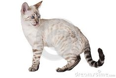 Bengal Kittens Snow Bengal kitten licking his nose - Cats are amazing animals. However, it would be selling them short to group them all into one huge category. Have you ever heard of the Snow Bengal cat? Bengal cats are an amazing breed of felines and White Bengal Cat, Bengal Cats, Siamese Cats, Toyger Cat, Cat Entertainment, Asian Leopard Cat, Ocicat, Spotted Cat, Oriental Cat