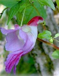 Parrot flower of Thailand