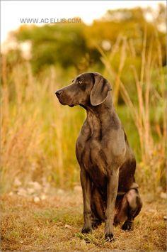 weimaraner dog in the fall grass
