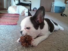 Chandler, the French Bulldog Puppy and his trusty pine cone.
