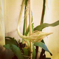こんにちは。天候は、曇り。 月下美人が花芽をつけたので、部屋に入れました。 今日もよろしくお願いします。 #Hi #cloudy #cactus #gardening #月下美人