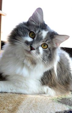 Pretty cat, long haired white and grey.