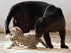 Leopard cub (black panther) playing with mommy's tail - Pixdaus