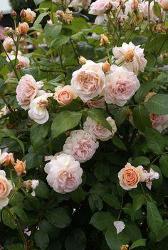 'Sweet Juliet' |  Shrub.  English Rose Collection. David C. H. Austin, 1989| Flickr - © Peter Karlsson