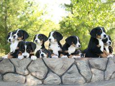 Cute puppies Great Swiss Mountain Dog