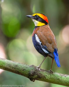 Malayan Banded Pitta - One of three separate species of banded pittas that were lumped together as one. Due to their vocal and visual differences the species were recently split.
