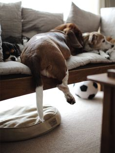 I love bassets, they think they can fit anywhere! I see this calamity daily!