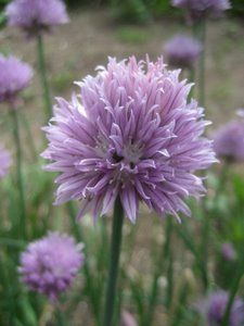 Image of Chives