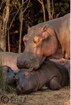 Hippo and her baby                                                                                                                                                      More