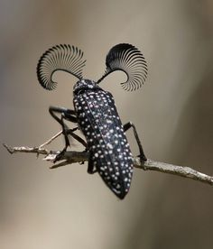 Feather-horned Beetle  | How's about these lashes, ladies?  | Maybe its Maybeline, maybe its not! Haha :-D